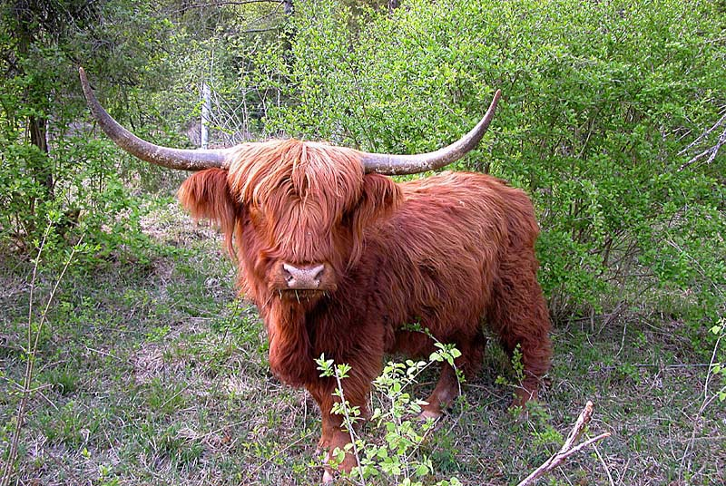Réserve naturelle de Chalmessin : highland cattle